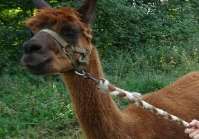 Lamas, Alpakas und andere tierische Überraschungen am Wandertag der 1A